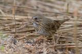 Bruant de Lincoln / Melospiza lincolnii / Lincoln's Sparrow