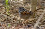 Bruant des marais / Melospiza georgiana / Swamp Sparrow