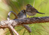 Bruant familier / Spizella passerina / Chipping Sparrow