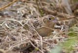 Bruant sauterelle / Ammodramus savannarum / Grasshopper Sparrow