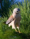 Buse à épaulettes / Buteo lineatus / Red-shouldered Hawk