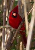 Cardinal rouge / Cardinalis cardinalis / Northern Cardinal