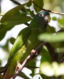 Conure à tête bleue / Aratinga acuticaudata / Blue-crowned Parakeet