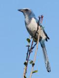 Geai à gorge blanche / Aphelocoma coerulescens / Florida Scrub Jay