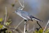Gobemoucheron gris-bleu / Polioptila caerulea / Blue-grey Gnatcatcher