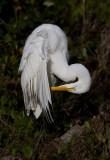 Grande Aigrette / Ardea alba / Great Egret
