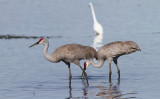 Grue du Canada / Grus canadensis / Sandhill Crane