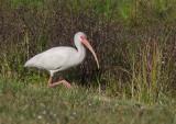 Ibis blanc / Eudocimus albus / American White Ibis
