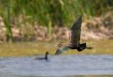 bis falcinelle / Plegadis falcinellus / Glossy Ibis