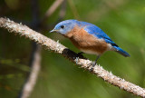 Merlebleu de l'Est / Sialia sialis / Eastern Bluebird