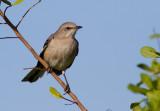 Moqueur polyglotte / Mimus polyglottos / Northern Mockingbird