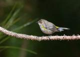 Paruline à croupion jaune / Setophaga coronata / Myrtle Warbler