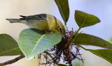 Paruline des pins / Setophaga pinus / Pine Warbler