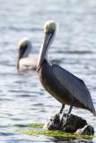 Pélican brun / Pelecanus occidentalis / Brown Pelican