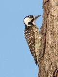 Pic à face blanche / Picoides borealis / Red-cockaded Woodpecker
