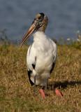 Tantale d'Amérique / Mycteria americana / Wood Stork