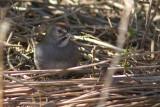 Tohi à queue verte / Pipilo chlorurus / Green-tailed Towhee