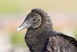 Urubu noir / Coragyps atratus / Black Vulture