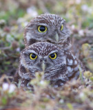 Chevêche des terriers / Athene cunicularia / Burrowing Owl