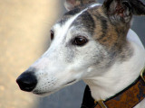 Whisper la Greyhound  :o)