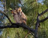 Great Horned Owls - Breeding Pair