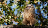 Great Horned Owlet - Just Branched