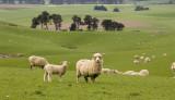 Catlin Sheep 1