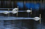swan lake 181