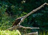 osprey 173