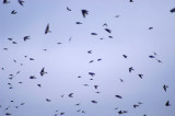 swallows swarming 126