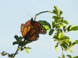 even butterflies do it 926