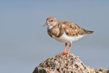 Scolopacidae (Sandpipers)