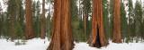 Sequoia panorama