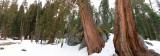 Sequoias panorama