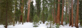 Sequoia forest panorama