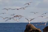 Thalasseus bergiiGreater Crested Tern
