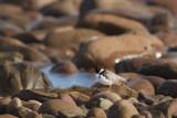 Thinornis rubricollisHooded Plover