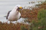 Larus pacificusPacific Gull