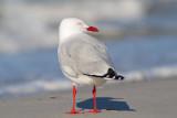 Chroicocephalus novaehollandiaeSilver Gull