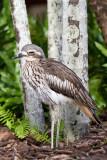 Burhinus grallariusBush Stone-curlew