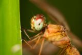 Odonata [Unidentified: Australia]
