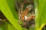 Odonata / Araneidae [Unidentified: Australia]