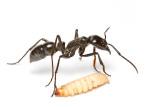 Dinoponera quadricepsDinosaur ant with waxworm