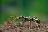 Dinoponera quadricepsDinosaur ant