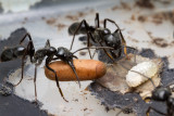 Dinoponera quadricepsDinosaur ant with pupa