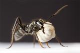 Dinoponera quadricepsDinosaur ant with larvae