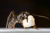 Dinoponera quadricepsDinosaur ant with larva