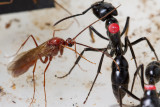 Dinoponera quadricepsDinosaur ant male and marked worker