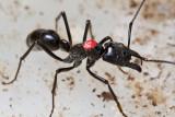Dinoponera quadricepsDinosaur ant marked worker