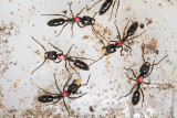 Dinoponera quadricepsDinosaur ant marked workers
